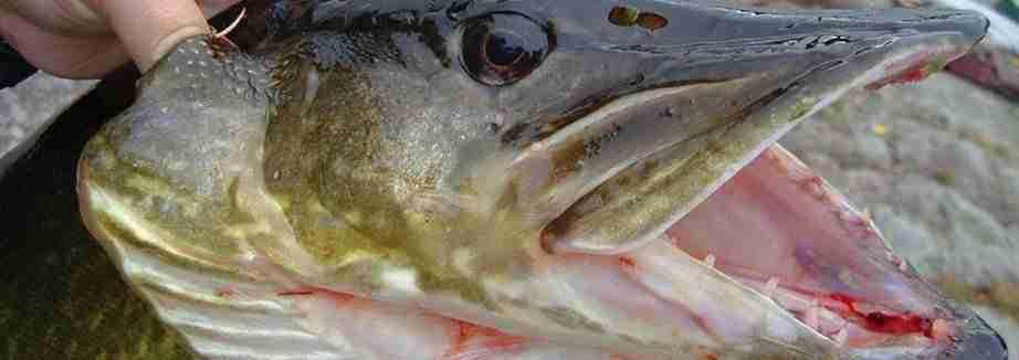 Pesca al luccio: pike in Irlanda
