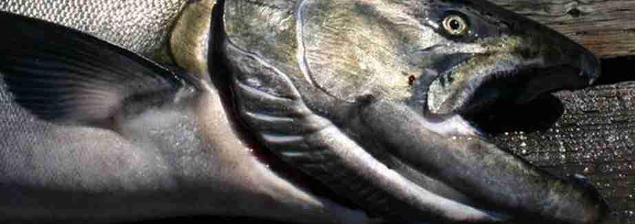 Pescare salmoni in Irlanda